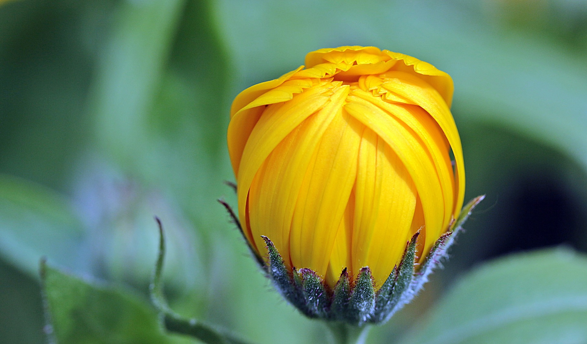 marigold-1503876_1920